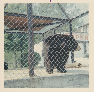"This is either Buster or Bandy, the two bears that in the 1960s were the star attraction at the service station and restaurant on Highway 7 near Actinolite that was called Price's, or the Log Cabin. People loved to stop in and watch those poor caged bears. They were, as I recall, famous for being fond of Coca-Cola, and would drink it out of the bottle. Note the classic vintage ""Supertest"" sign in the background. (Photo almost certainly by my grandfather, J.A.S. Keay)"