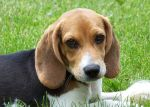 I think a beagle is what Raymond needs at the Manse.