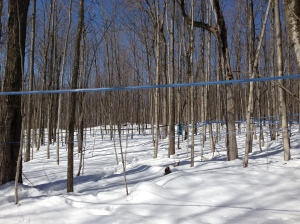 The modern way of collecting sap: this is pipeline running through the sugar bush and down to the boiling house at the O'Hara Sugar Maples operation on Hart's Road between Queensborough and Madoc.