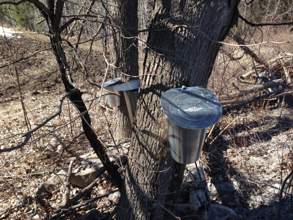 It was sap buckets like this that Dad and my siblings and I – often with help from neighbourhood kids – would collect from back in the old days. I took this photo along Rimington Road near Eldorado last weekend. Nice to see that someone is still doing things the old-fashioned way!