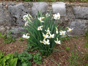 Our blooming narcissus plant in the Manse's garden.
