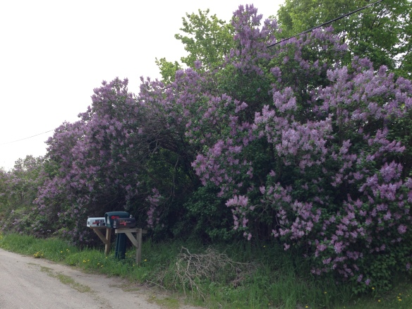 One of the many beautiful displays of lilacs we saw this past long weekend, this one at the hamlet of Hazzard's Corners.