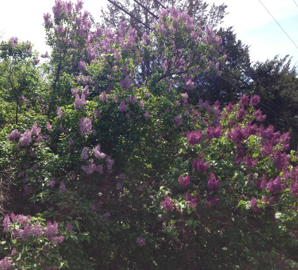 A gorgeous lilac bush on Frankford Road, Hastings County.