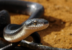 """This is a """"western black snake,"""" which according to my very-far-from exhaustive internet research is probably what we called """"black snakes"""" (or maybe """"water snakes"""") in my childhood in Queensborough."""