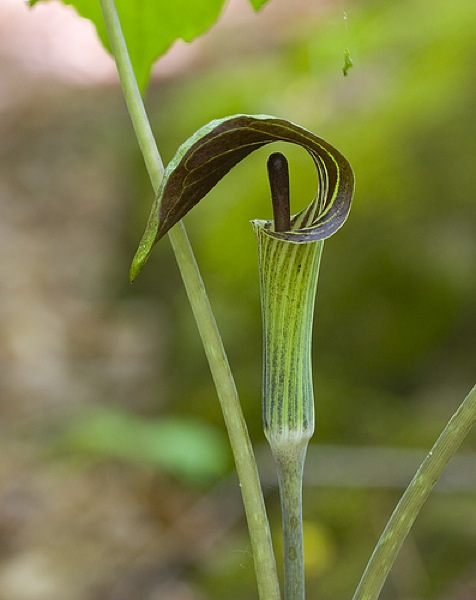"""Jack-in-the-pulpit is named because it resembles a preacher standing in a pulpit,"" Nature Conservancy of Canada tells us. Perhaps that is why, as the daughter of a minister – and why my Aunt Marion, as the sister of one – have a special affection for it. (Photo from Design Maze)"