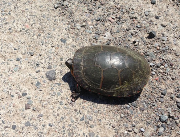 Our first turtle of the weekend, spotted crossing Hunt Club Road southwest of Queensborough.