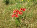 Red lilies on the Tweed Garden Tour