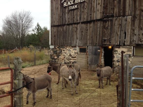 donkeys at Black River Farm