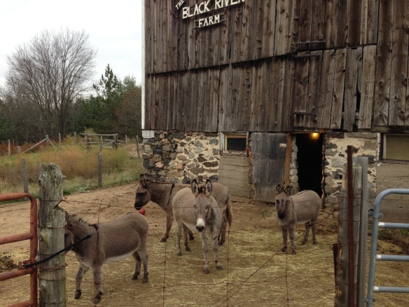 donkeys at Black River Farm