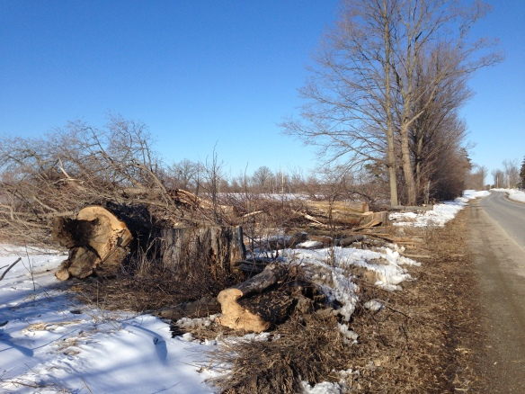 Felled trees on Queensborough Road