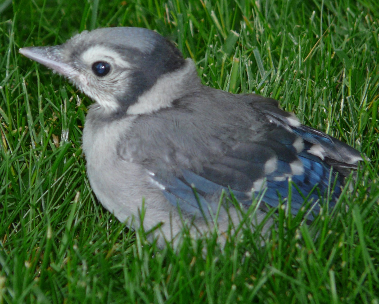 A baby blue jay at the Manse, and lessons from my ...