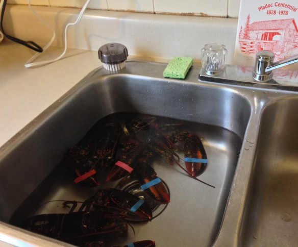 Lobsters in the sink