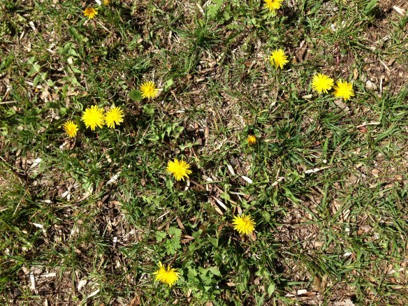 The overnight dandelions