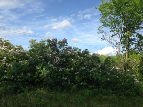Field of lilacs, Queensborough Road