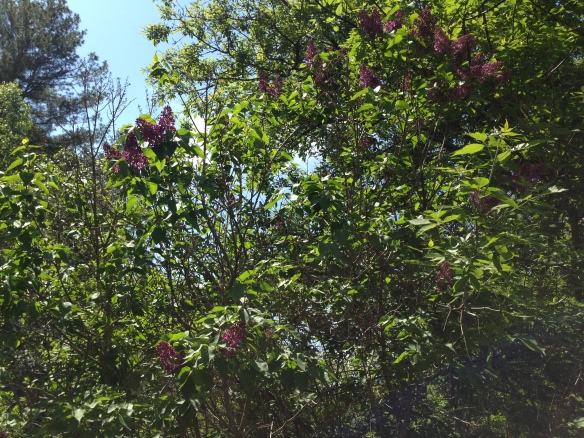 Lilacs at the Manse 1