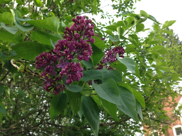 Lilacs at the Manse 2