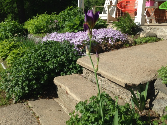 Manse garden, a spring Saturday with iris