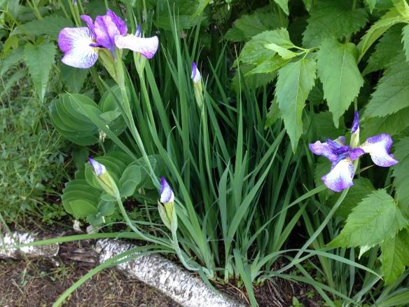 More Manse irises