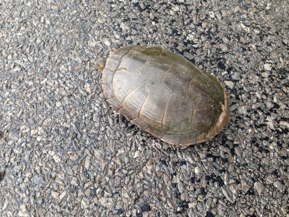 Turtle on Queensborough Road, heading south