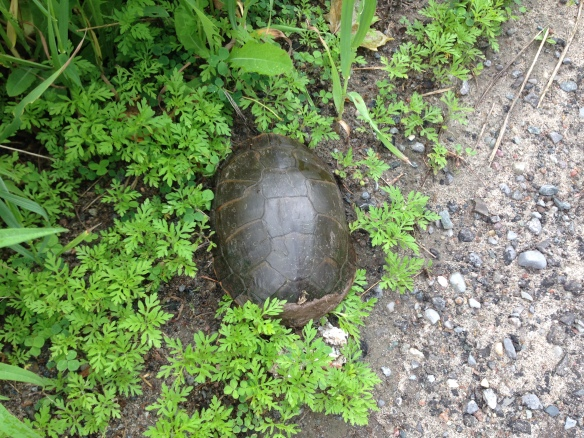 Turtle safely on south side of Queensborough Road