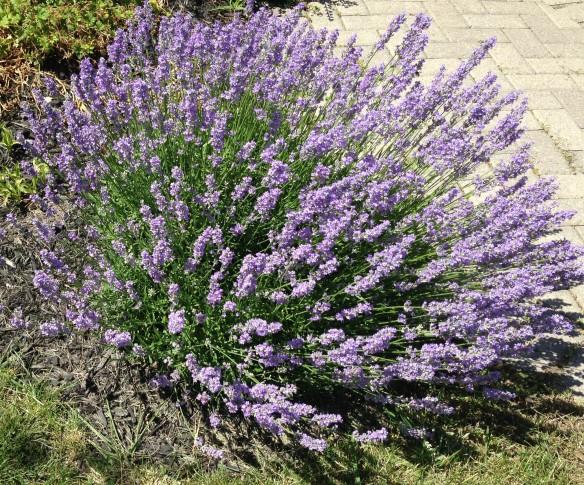 Doris's lavender