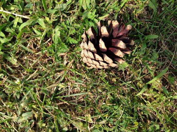 Red pine cone