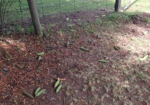 Red spruce cones