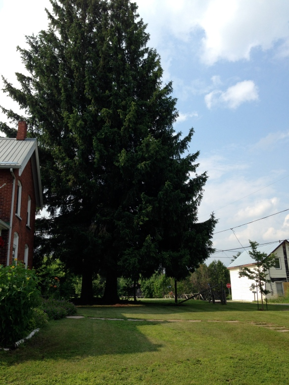 Very large trees very close to the Manse