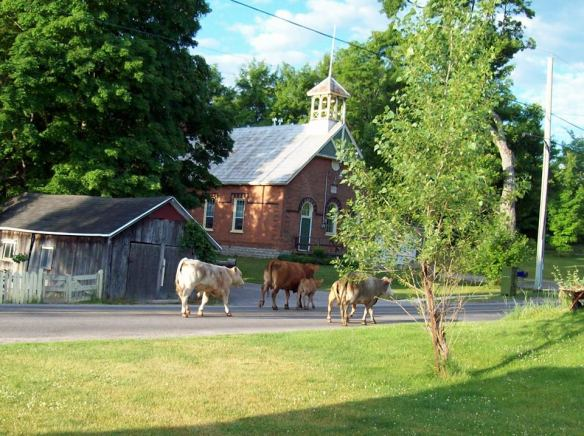 Cows come to Queensborough