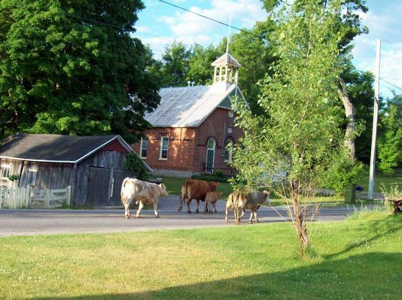 Cows come to Queensborough