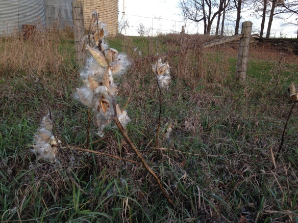 Milkweed on Queensborough Road