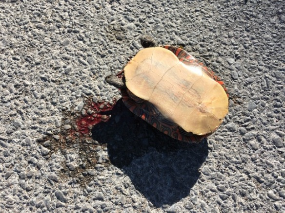 Dead turtle, Queensborough Road