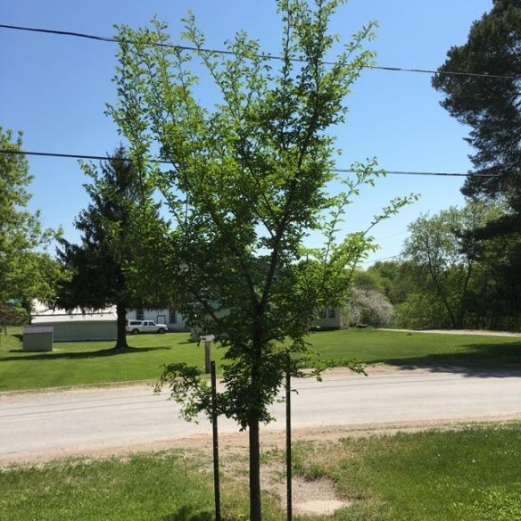 The Manse's elm tree, spring 2016