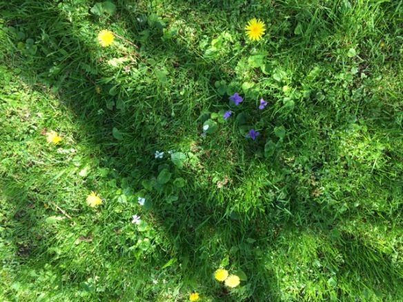 Wildflowers and dandelions on the lawn, spring 2016