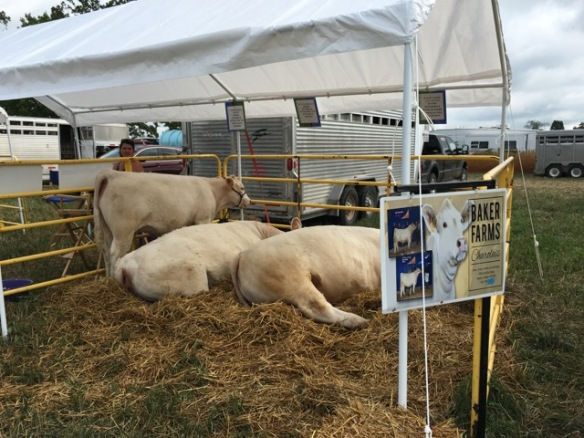 Baker Farms Charolais cattle