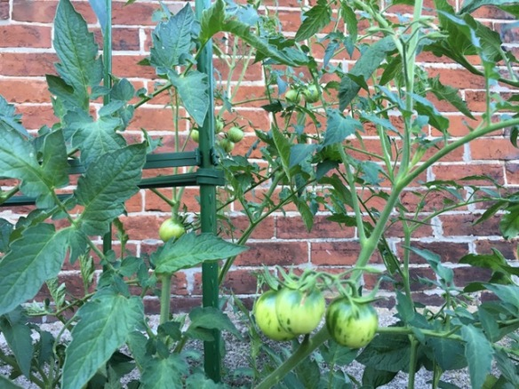 Tomatoes on the tomato plants