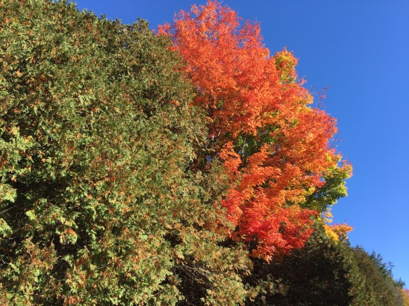 Tree at the Mandzys', fall 2016