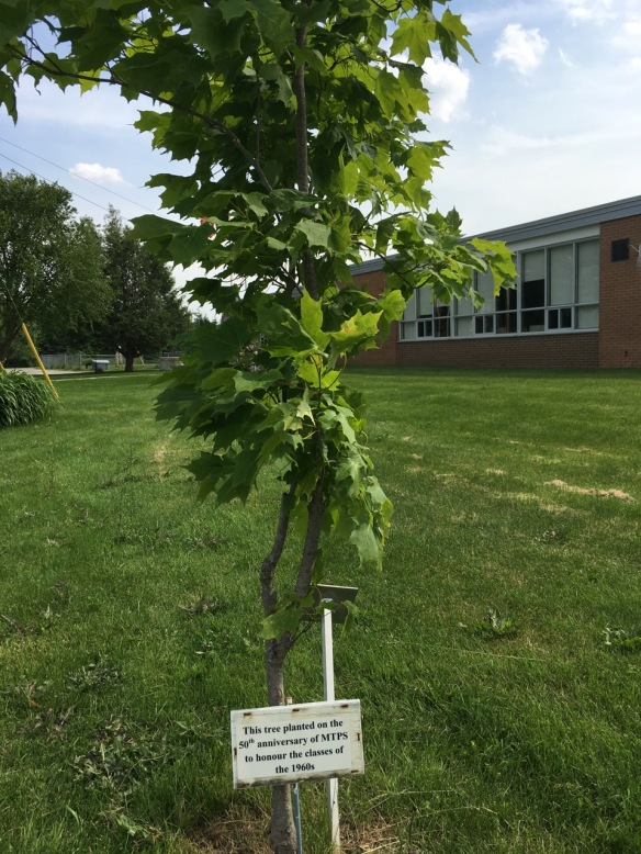 50th anniversary tree at MTPS