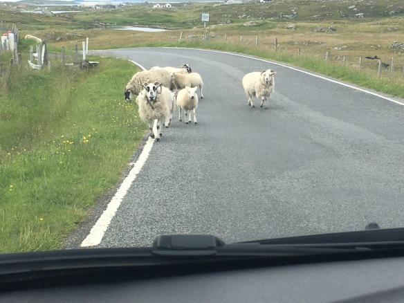 Sheep in Barra