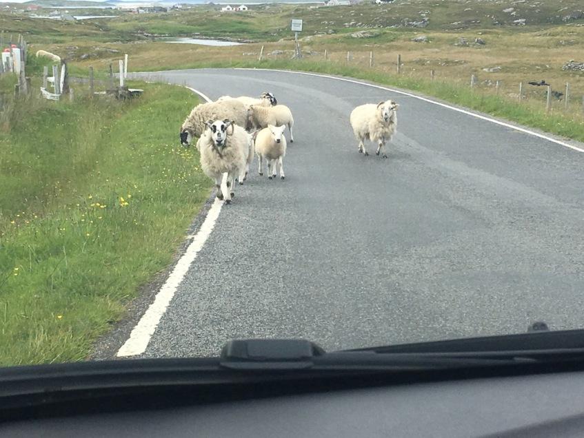 Sheep in Barra