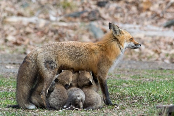 Red Fox and 5 pups Cordova by Lloyd Holmes